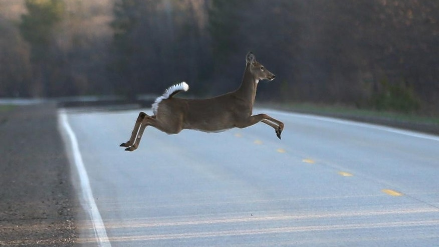 A deer runs across the road, Wednesday, May 6, 2015 in Kinross Charter Township, Mich. Harsh winters the past few years have decimated deer herds across the Upper Midwest. In Michigan's Upper Peninsula, where the annual fall deer hunt is a way of life, the population has dropped as much as 40 percent after two bitterly cold and snowy winters. The state's Natural Resources Commission will discuss the situation Thursday during its monthly meeting in Lansing. A memo prepared by the Department of Natural Resources lists six options, including canceling this year's U.P. deer hunting season. (AP Photo/Carlos Osorio)