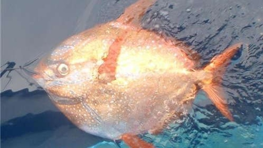 This opah, also known as the moonfish, was caught and released on a longline set off of the Channel Islands off of California.