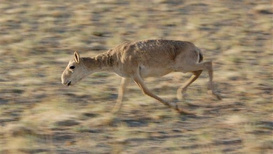 A saiga calf runs in the Sharga Nature Reserve in Mongolia.