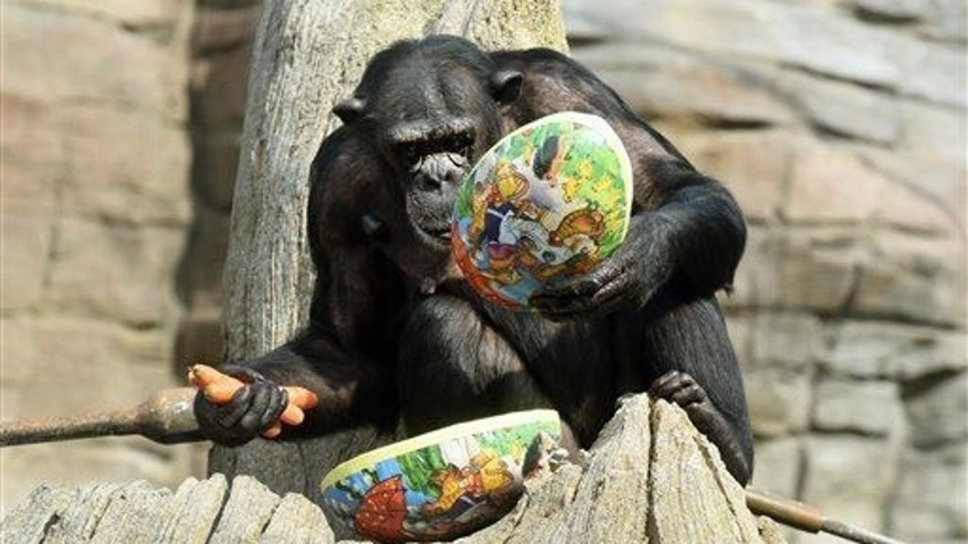 Chimpanzee Viktoria opens an Easter egg at the zoo in Hanover, Germany.