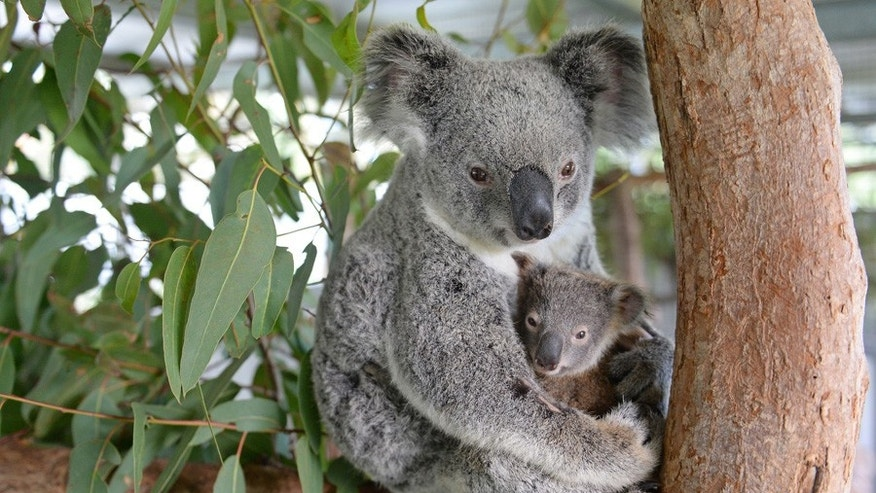 Lizzy and Phantom, the koala mum and joey who are currently being treated at the Australia Zoo Wildlife Hospital.