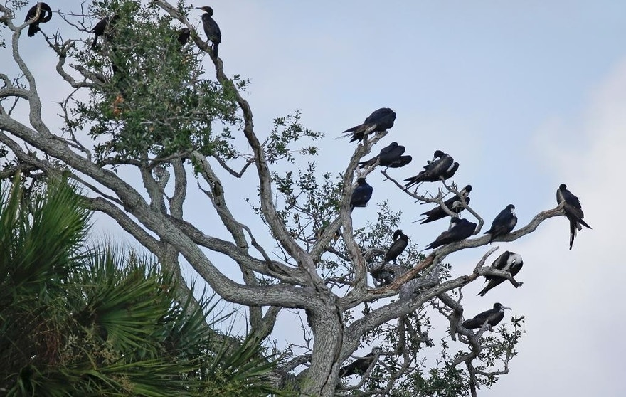 "In this Friday, June 19, 2015 photo, a variety of birds gather in branches at Snake Key, Fla. near Seahorse Key, off Florida's Gulf Coast. In May, Seahorse Key fell eerily quiet, as thousands of birds suddenly disappeared, and biologists are trying to find the reason why. U.S. Fish and Wildlife Service biologist Vic Doig said what was once the largest bird colony on the state's Gulf Coast is now a ""dead zone.""   (AP Photo/John Raoux)"