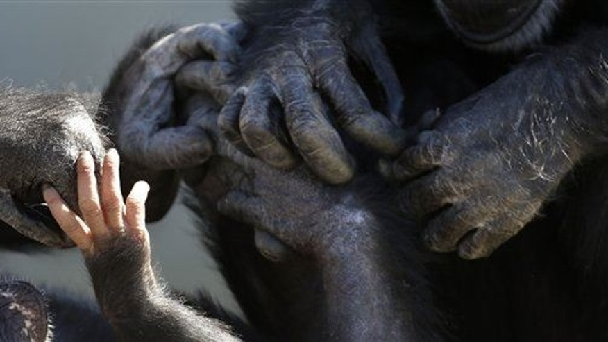 A baby chimp's hands, left, is seen touching the hands of other chimps at Chimp Haven in Keithville, La., Tuesday, Feb. 19, 2013.