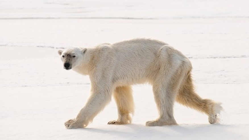 This thin polar bear recently impressed researchers with his excellent diving skills.