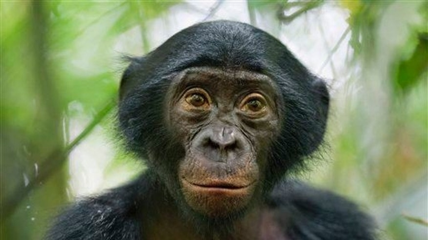 A five-year-old bonobo of a wild group of bonobos near the Kokolopori Bonobo Reserve, in the Democratic Republic of Congo, Jan. 25, 2011.