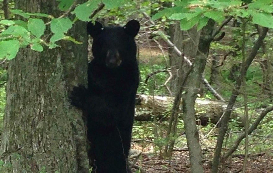 A black bear stands in a wooded area in Newton, New Jersey, July 12, 2015.  New Jersey, the U.S. State most densely populated by humans, is also thick with black bears, and wildlife officials are set to vote on August 11, 2015 on a plan to expand hunting season months after the state's first fatal attack.  Photo taken July 12, 2015.  REUTERS/Barbara Goldberg - RTX1NW04
