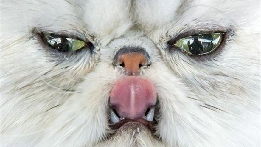 In this Saturday, June 20, 2015 file photo, a Persian cat sticks out its tongue during the International pedigree dog and purebred cat exhibition in Erfurt, Germany.