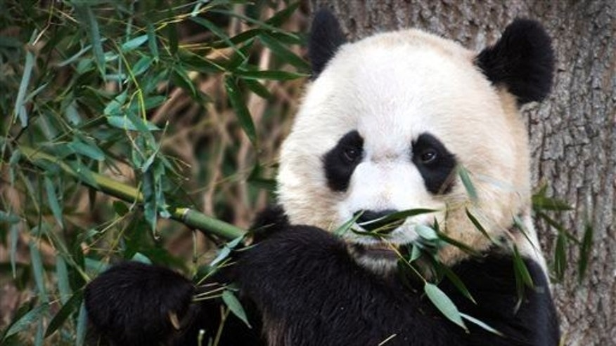 In this Dec. 19, 2011, file photo, Mei Xiang, the female giant panda at the Smithsonian's National Zoo in Washington, eats breakfast.