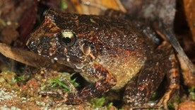 The newly discovered robber frog species in Bolivia's Madidi National Park.