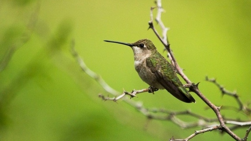 A female black-chinned hummingbird (<em>Archilochus alexandri</em>) perches on a twig.