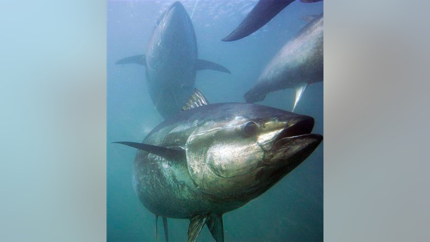 Tuna species are among those declining the fastest.