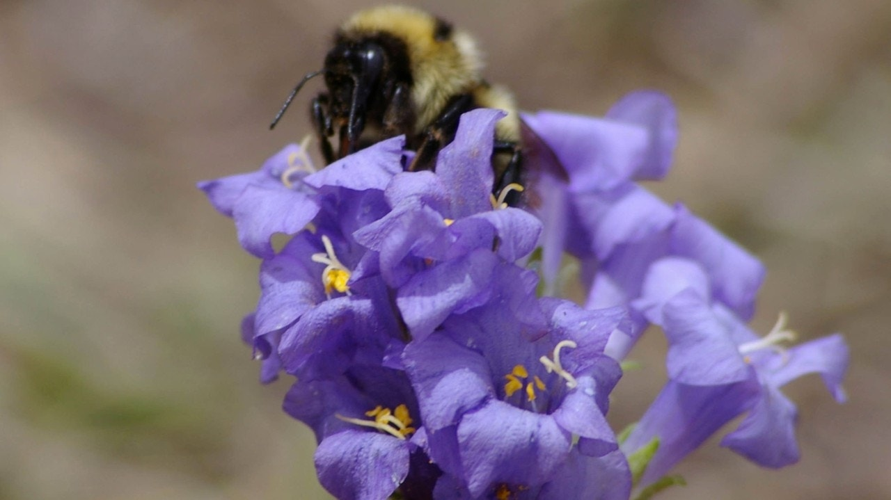 Global warming, evolution reshaping bodies of bumblebees, study says