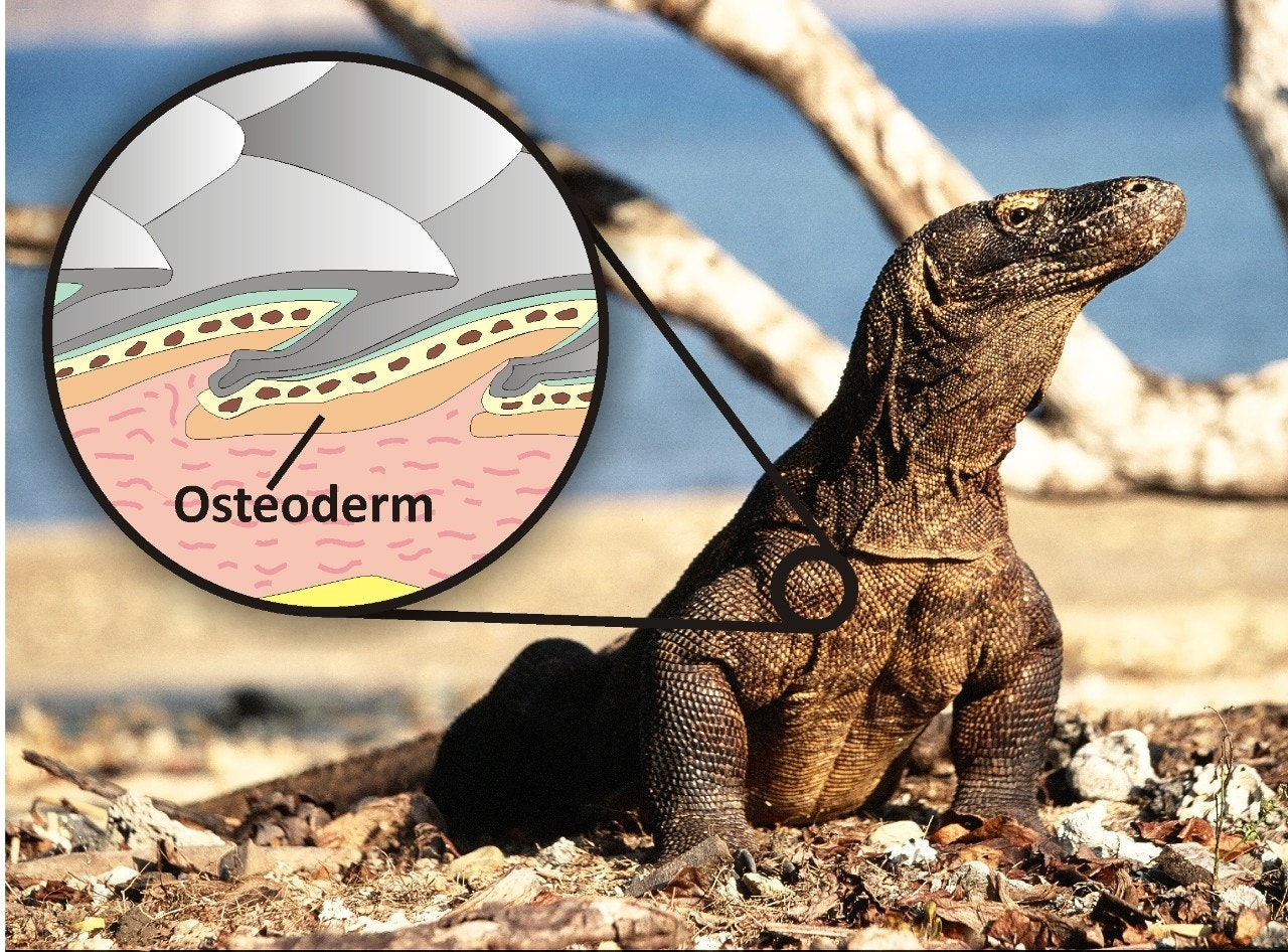 Giant prehistoric lizards co-existed with humans