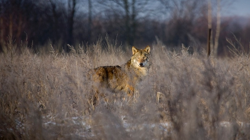 File photo - A wolf stands in a field in the 18 mile exclusion zone around the Chernobyl nuclear reactor near the village of Babchin some 217 miles southeast of Minsk, Feb. 1, 2008.