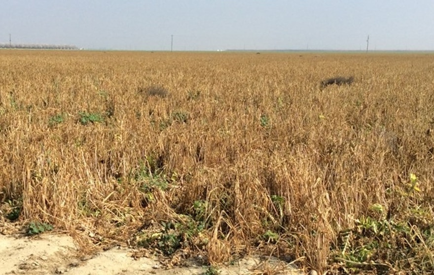 Wheatfield near Mendoto, Calif., could not be harvested due to lack of water.