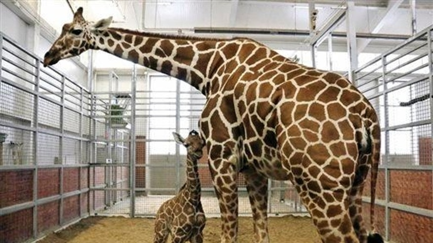 This Oct. 28, 2014, file photo, provided by the Dallas Zoo shows a newborn reticulated calf with his mom Chrystal in Dallas.