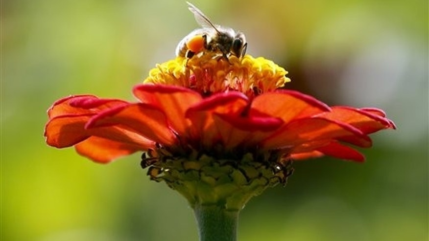 In this Sept. 1, 2015, photo, a honeybee works atop gift zinnia in Accord, N.Y. While scientists have documented cases of tiny flies infesting honeybees, causing the bees to lurch and stagger around like zombies before they die, researchers don't know the scope of the problem. (AP Photo/Mike Groll, File)