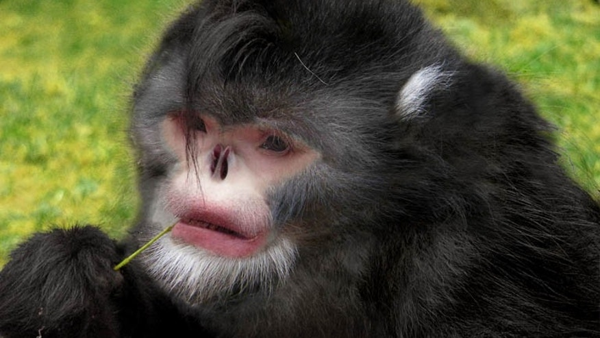 Photoshop reconstruction of the snub-nosed monkey. (Credit: Dr Thomas Geissmann/Fauna & Flora International)