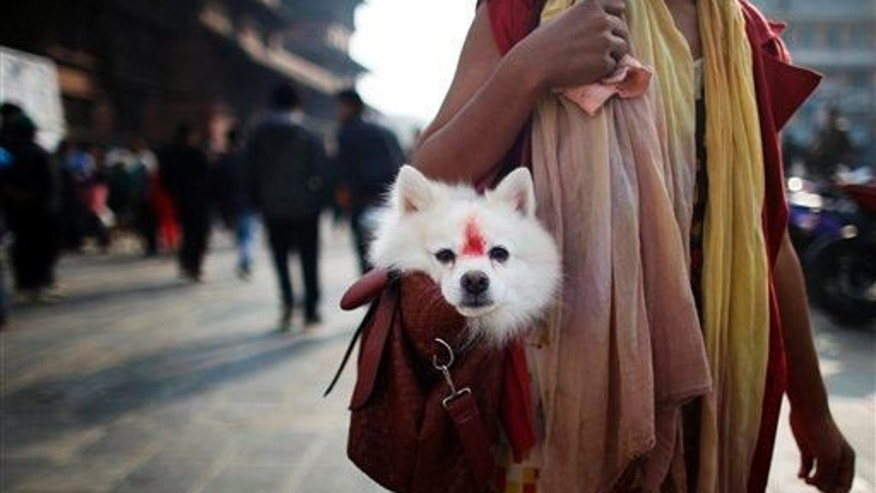 A Nepalese woman carries a dog, decorated with vermillion, in her bag in Kathmandu, Nepal, Nov. 2, 2013.