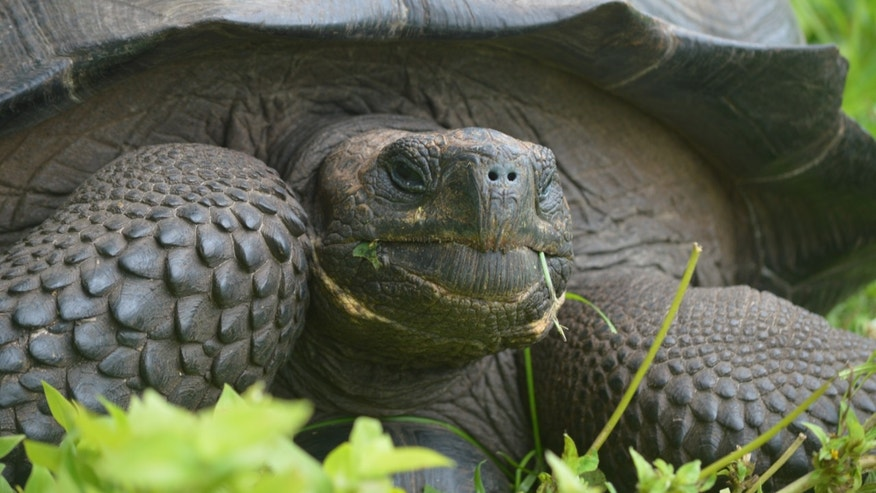 New species of tortoise found on Galapagos island