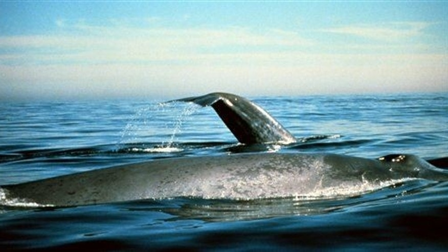Blue whales are seen in the Gulf of the Farallones National Marine Sanctuary in California.