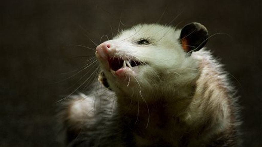 A Virginia opossum is shown in this file photo.