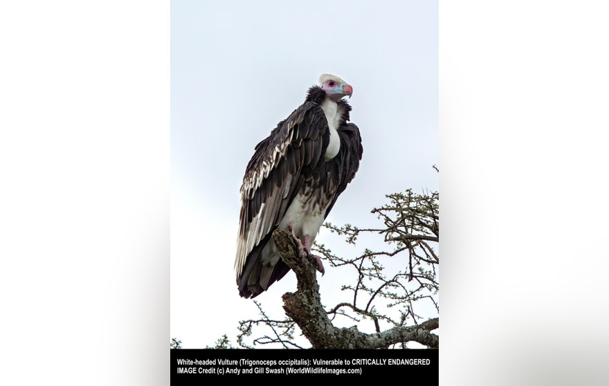 Trigonoceps occipitalis, White-headed Vulture, Adult, Tanzania