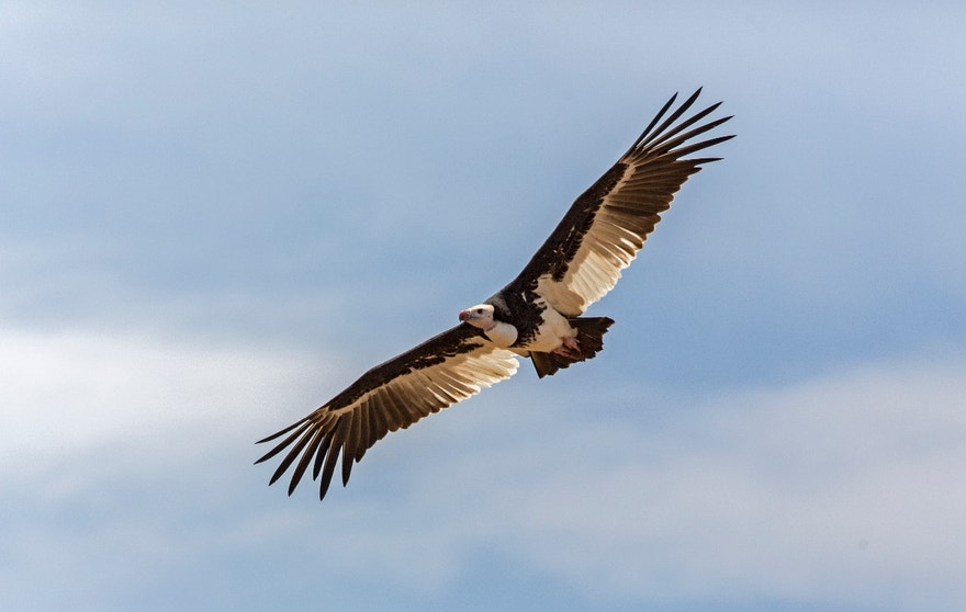 White-headed Vulture (Trigonoceps occipitalis).