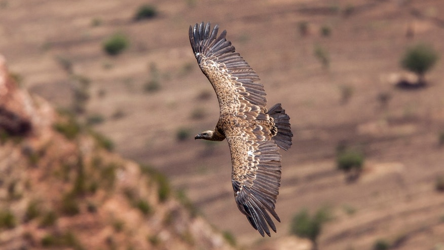 Could some vultures disappear from Africa?