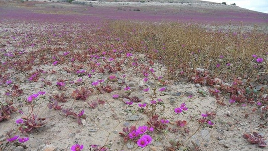 Wild flowers are covering huge stretches of the Atacama desert in Chile. (Photo Credit: Sebastéuo Fotografias)