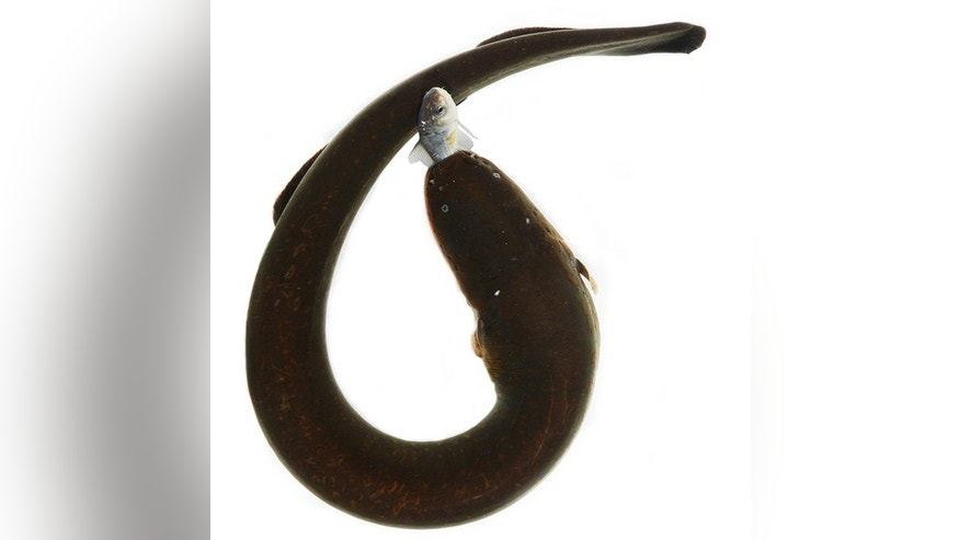An electric eel curls its body to deliver a powerful shock to a prey item.