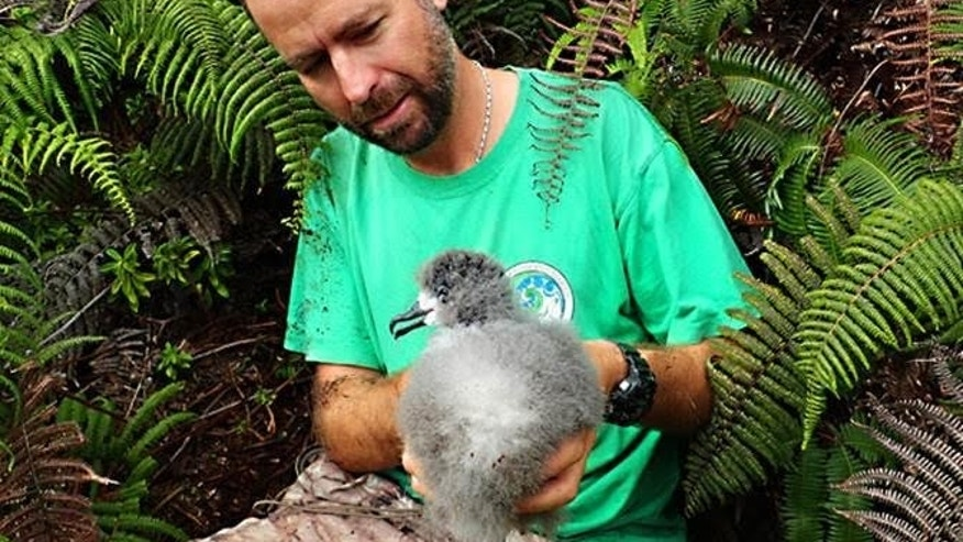 André Raine from Kauaʻi Endangered Seabird Recovery Project removes a Hawaiian Petrel chick from burrow for translocation. (Mike McFarlin)