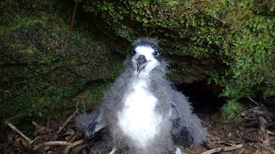 After being dropped by helicopter on to the mountain, the translocation teams headed for nest burrows that had been monitored throughout the breeding season. Each burrow contained a large, healthy chick. (Andre Raine/Kaua'i Endangered Seabird Recovery Project)