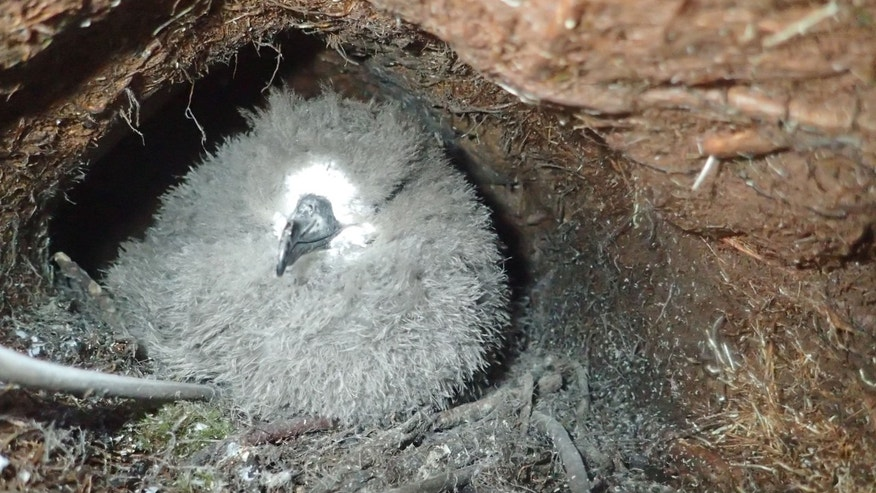 Hawaiian petrel chick in its burrow.  (Andre Raine/Kaua'i Endangered Seabird Recovery Project)