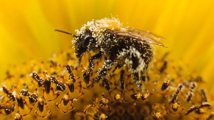 File photo - A bee collects pollen from a sunflower in Utrecht July 27, 2010. (REUTERS/Michael Kooren)