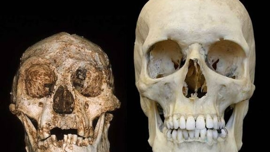 Endocasts of the skulls of a hobbit (left) and a modern human (right). Research by Dean Falk of Florida State University and colleagues has suggested features of the hobbit's skull more closely resembled that of a normal human than a microcepha