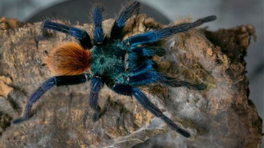 Scientists remain baffled by blue tarantulas