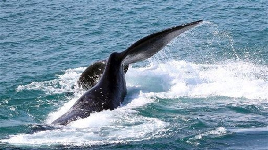 An adult southern right whale frolics in Australian waters off Sydney on July 17, 2014.