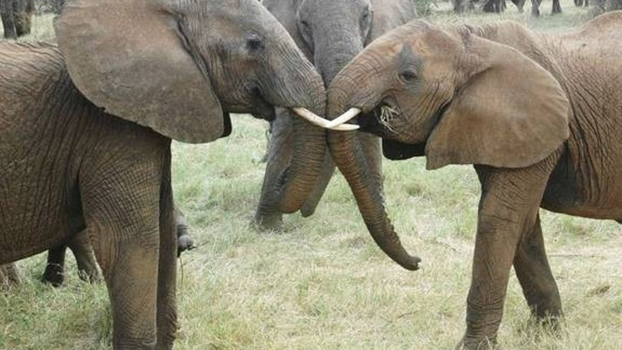 A pair of young females from different elephant families interact, as an older relative watches.