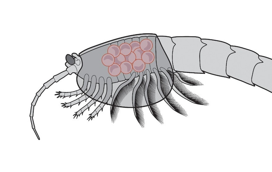 Waptia fieldensis (middle Cambrian) with eggs brooded between the inner surface of the carapace and the body.