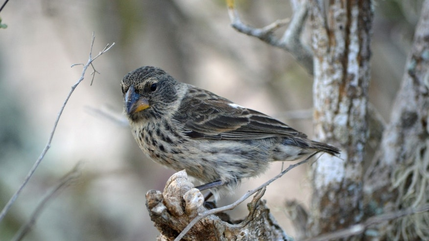 A female medium ground finch, one of at least 14 species of Darwin's finches in the Galapagos Islands, Ecuador. (Jennifer Koop, University of Utah)