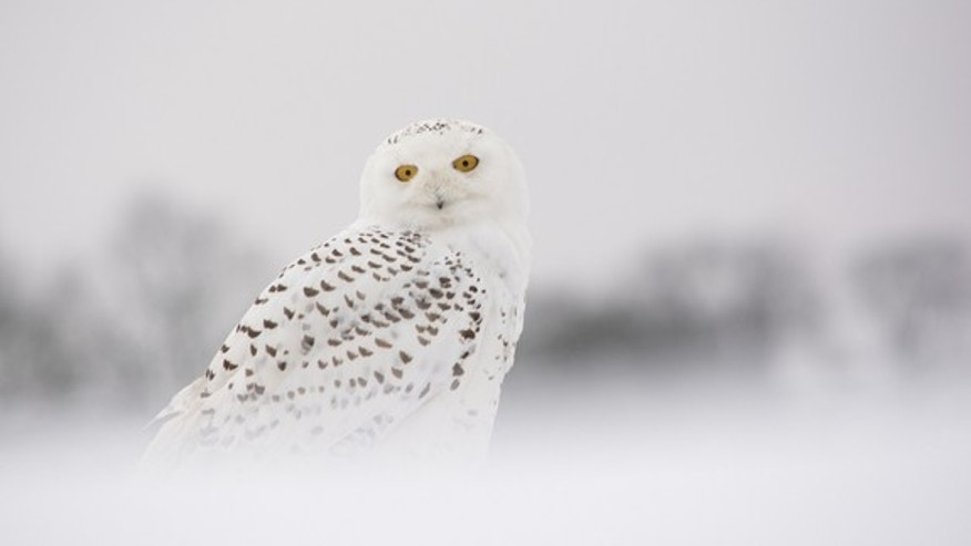 A photo of a snowy owl in the winter.