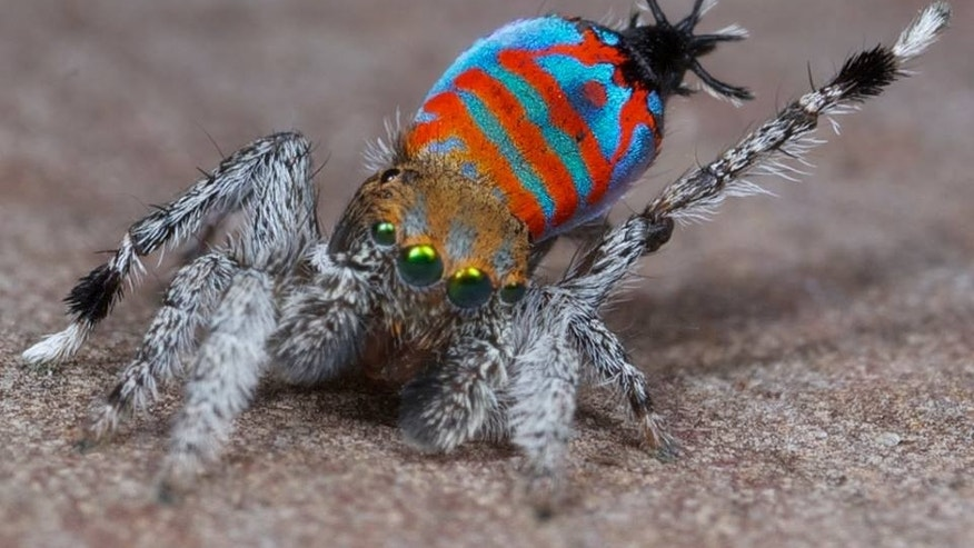 A male of the peacock spider species Maratus jactatus, which is nicknamed Sparklemuffin, lifts its leg as part of a mating dance. (Jürgen Otto)