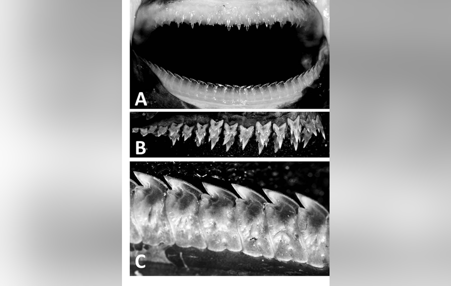 The teeth of the newly discovered lanternshark, Etmopterus benchleyi.