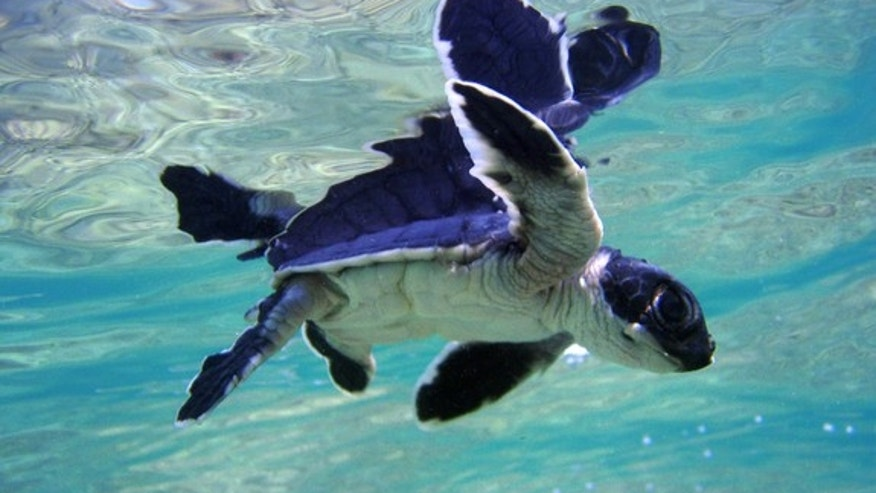 Thousands of green turtles (<em>Chelonia mydas</em>) were in the area affected by the Deepwater Horizon oil spill between April 2010 and August 2010.