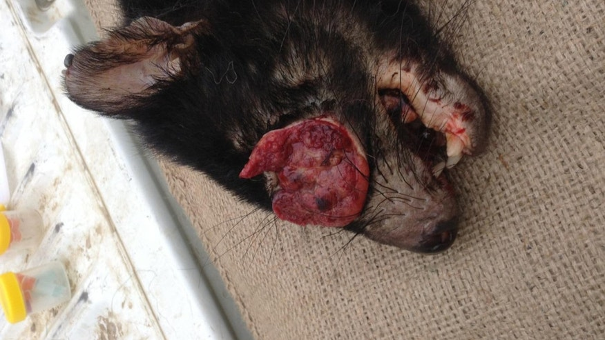 This is a photograph of a Tasmanian Devil with facial tumor. (Gregory Woods, Menzies Institute for Medical Research, University of Tasmania)