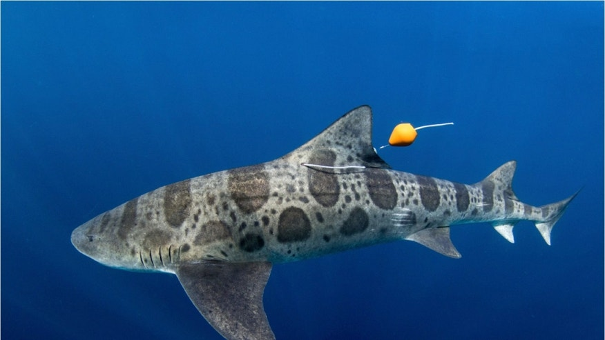 Sharks may use their noses to navigate the world's oceans