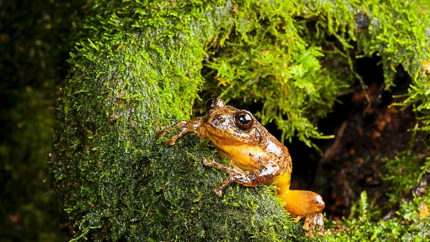 This 2010 photo provided by biologist S.D. Biju shows a Frankixalus jerdonii, belonging to a newly found genus of frogs, seated in the wild. The frogs live high in the forest canopies of northeastern Indian jungles. (SD Biju via AP)