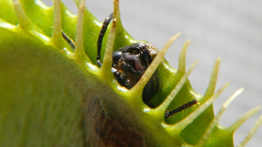 An ant dies after an unsuccessful attempt to escape a Venus Flytrap in Singapore June 23, 2009. (REUTERS/David Loh)