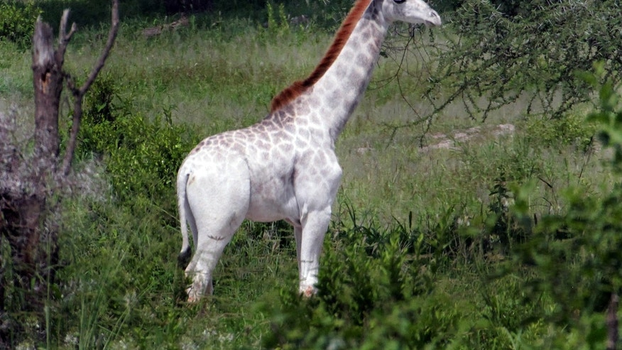 Image result for rare white giraffe spotted in tanzania